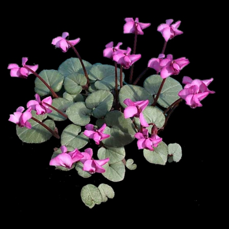 Cyclamen coum 'Pewter Leaf' photo Arrowhead Alpines