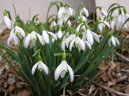 Common Snowdrop at Carolyn's Shade Gardens