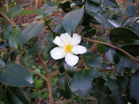 Camellia oleifera at Carolyn's Shade Gardens