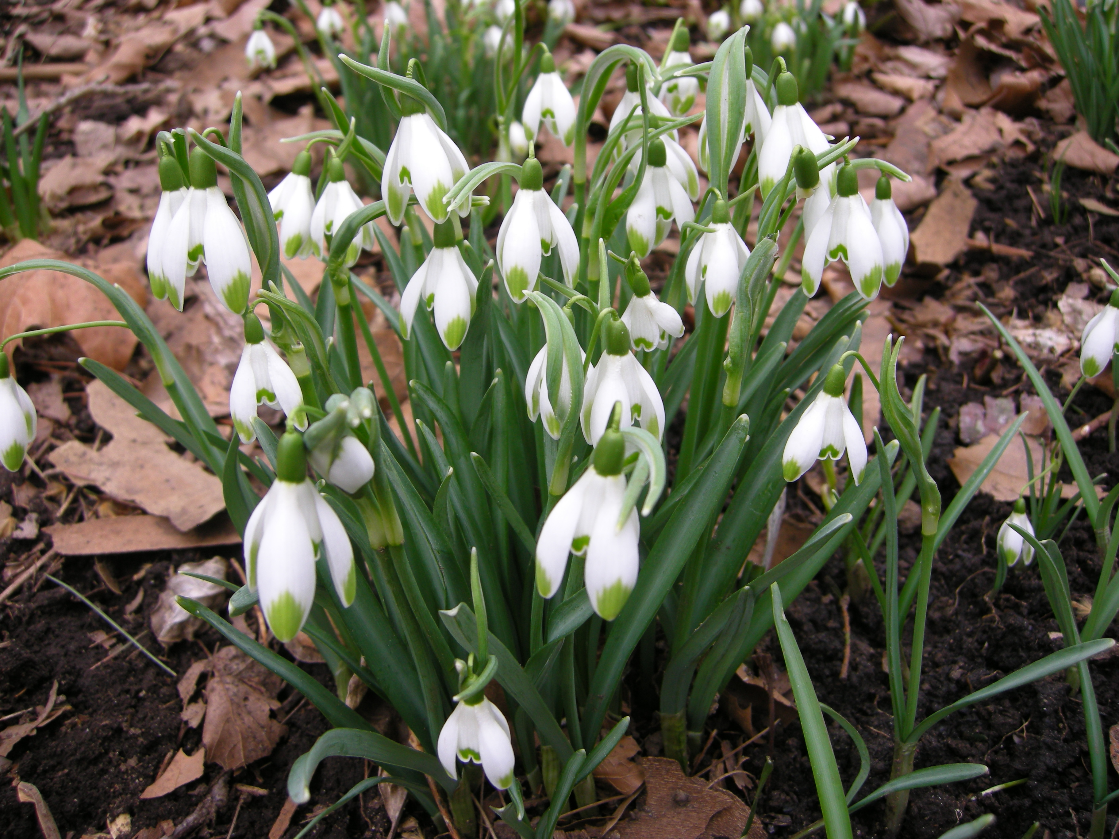 the snowdrops Visitors have been flocking to a 15th century anglesey manor house to admire its  snowdrop-filled gardens and raise money for cancer research.