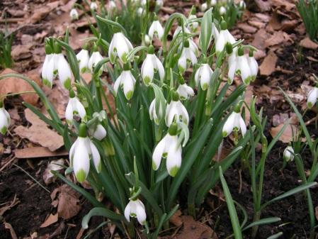 'Viridi-apice' snowdrops at Carolyn's Shade Gardens