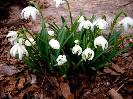 Galanthus 'Flore Pleno' at Carolyn's Shade Gardens