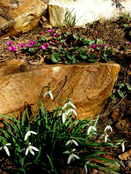 Galanthus nivalis and Cyclamen coum at Carolyn's Shade Gardens