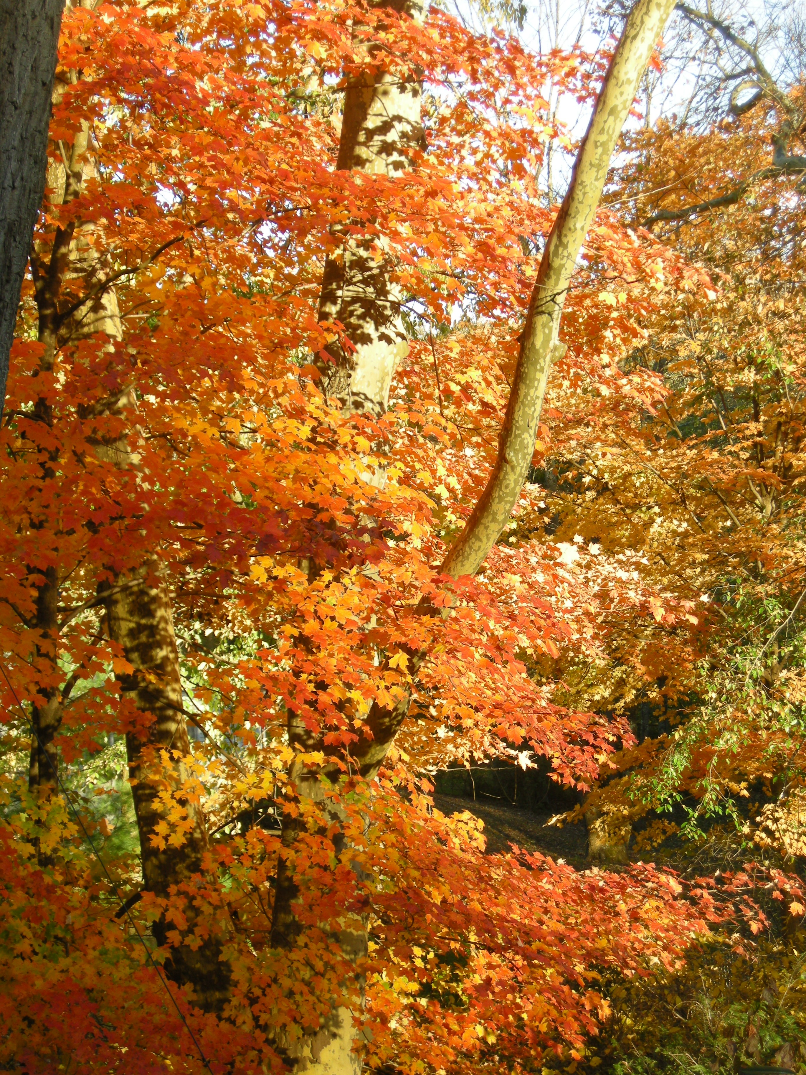 Shade gardening in fall coral bark maple carolyn 39 s shade gardens - Gardening in fall ...