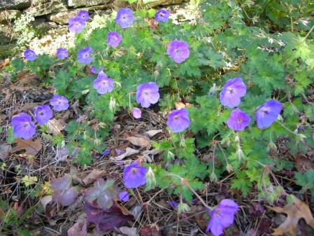 'Rozanne' hardy geranium at Carolyn's Shade Gardens