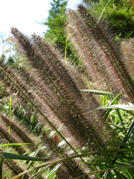 black fountain grass at Carolyn's Shade Gardens