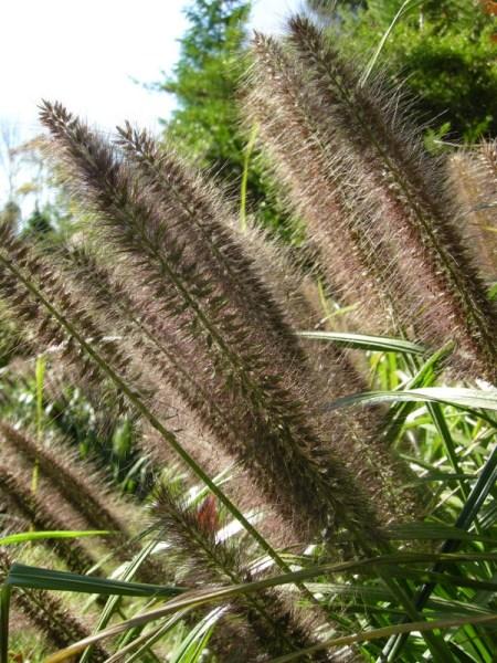 Black fountain grass carolyn 39 s shade gardens for Fountain grass for shade