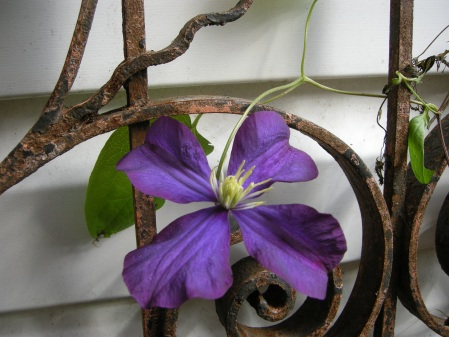'Warsaw Nike' clematis at Carolyn's Shade Gardens