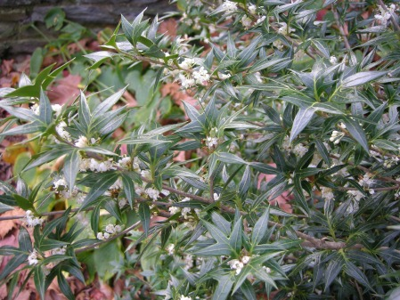 holly osmanthus at Carolyn's Shade Gardens