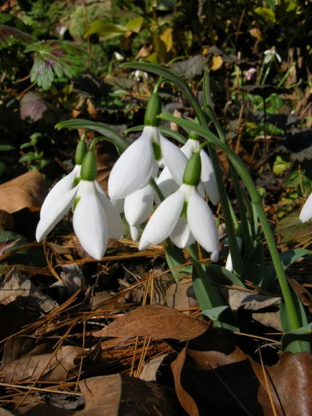 'Potter's Prelude' snowdrops at Carolyn's Shade Gardens