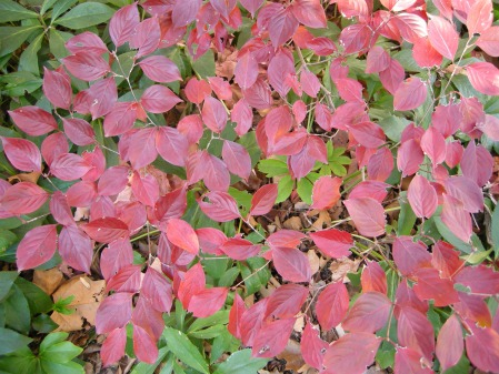 Kousa dogwood at Carolyn's Shade Gardens