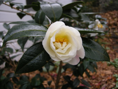 fall-blooming camellia 'Elaine Lee' at Carolyn's Shade Gardens