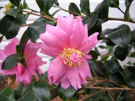 fall-blooming camellia 'Winter's Darling' at Carolyn's Shade Gardens