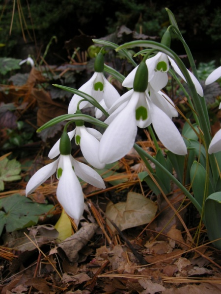 fall-blooming snowdrop 'Potter's Prelude' at Carolyn's Shade Gardens