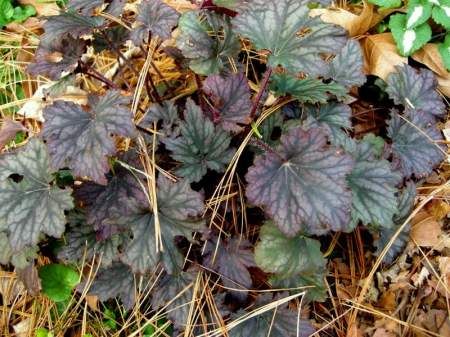 'Frosted Violet' native coralbells at Carolyn's Shade Gardens