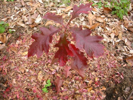 red oak seedling at Carolyn's Shade Gardens