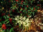 Galanthus reginae-olgae photo CharlesCresson