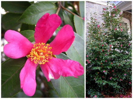fall-blooming camellia 'Cranberry Ice'