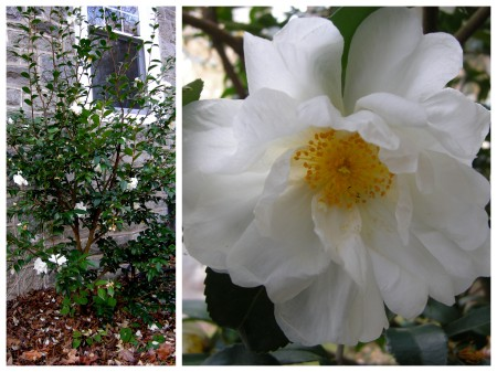 fall-blooming camellia 'Winter's Snowman'