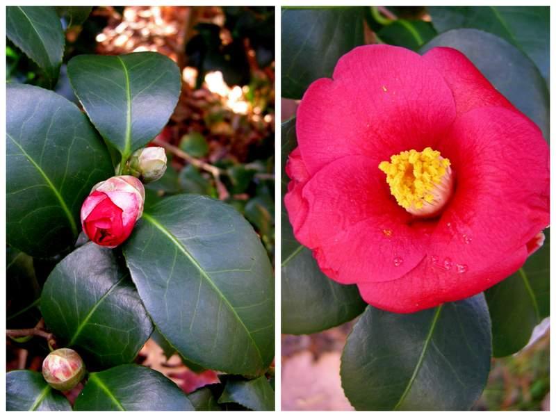 bonanza camellias