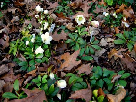Christmas rose 'Jacob' at Carolyn's Shade Gardens
