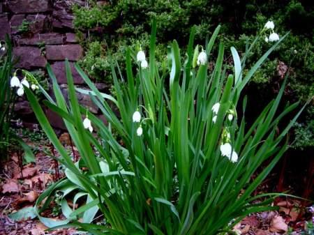 summer snowflake at Carolyn's Shade Gardens