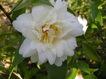 fall-blooming camellia 'Snow Flurry'