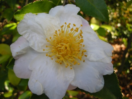 fall-blooming camellia Ackerman seedling