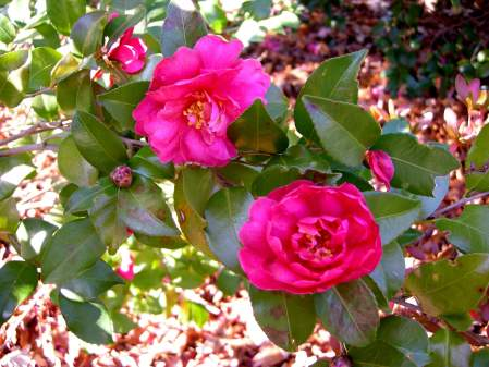 fall-blooming camellia 'Autumn Spirit'