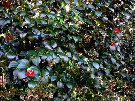 "fall-blooming camellia ""Wax Lips"""