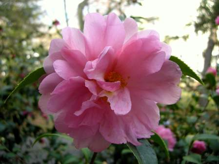 fall-blooming camellia 'Winter's Beauty'