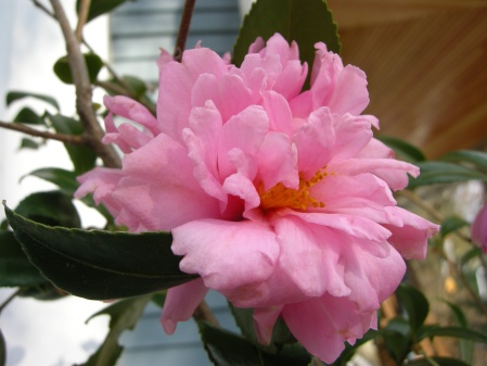 fall-blooming camellia 'Winter's Charm'