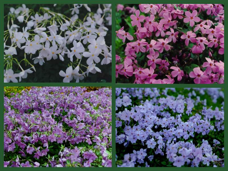 Flowering Wintergreen Ground Covers For Shade Carolyn 39 S