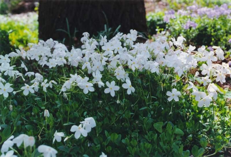Dwarf sweetbox carolyns shade gardens creeping phlox bruces white mightylinksfo