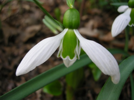 Galanthus 'Merlin' in Cresson garden