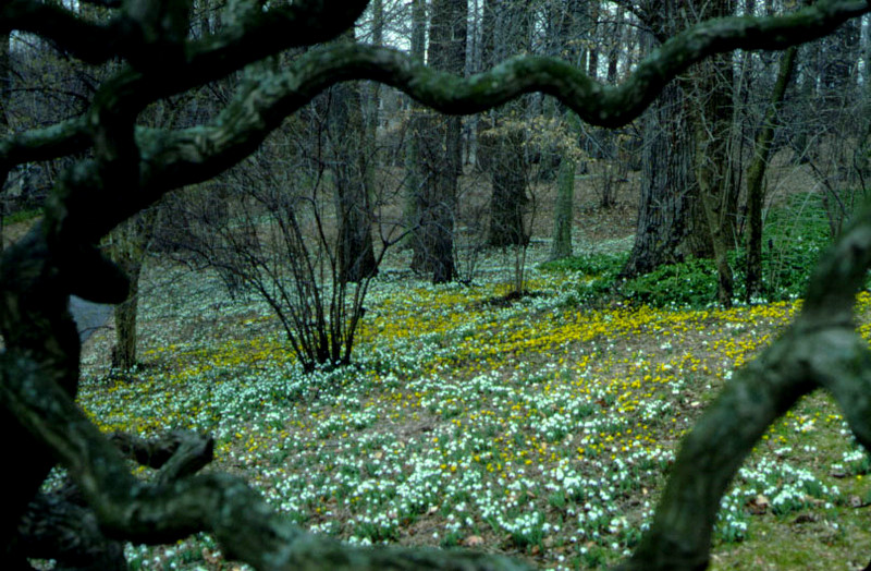 Galanthus and Eranthis at Winterthur photo Winterthur | CAROLYN\'S ...