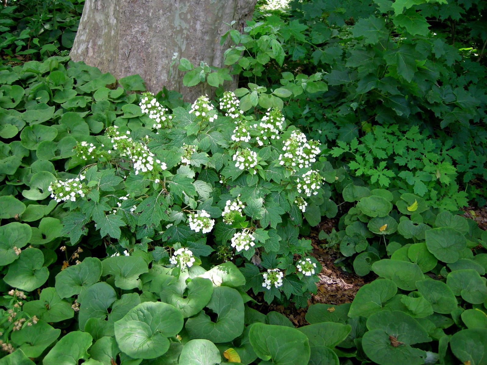 Pee Wee Dwarf Oakleaf Hydrangea Carolyn 39 S Shade Gardens