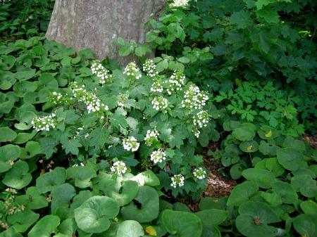 Hydrangea quercifolia 'Pee Wee' at Carolyn's Shade Gardens