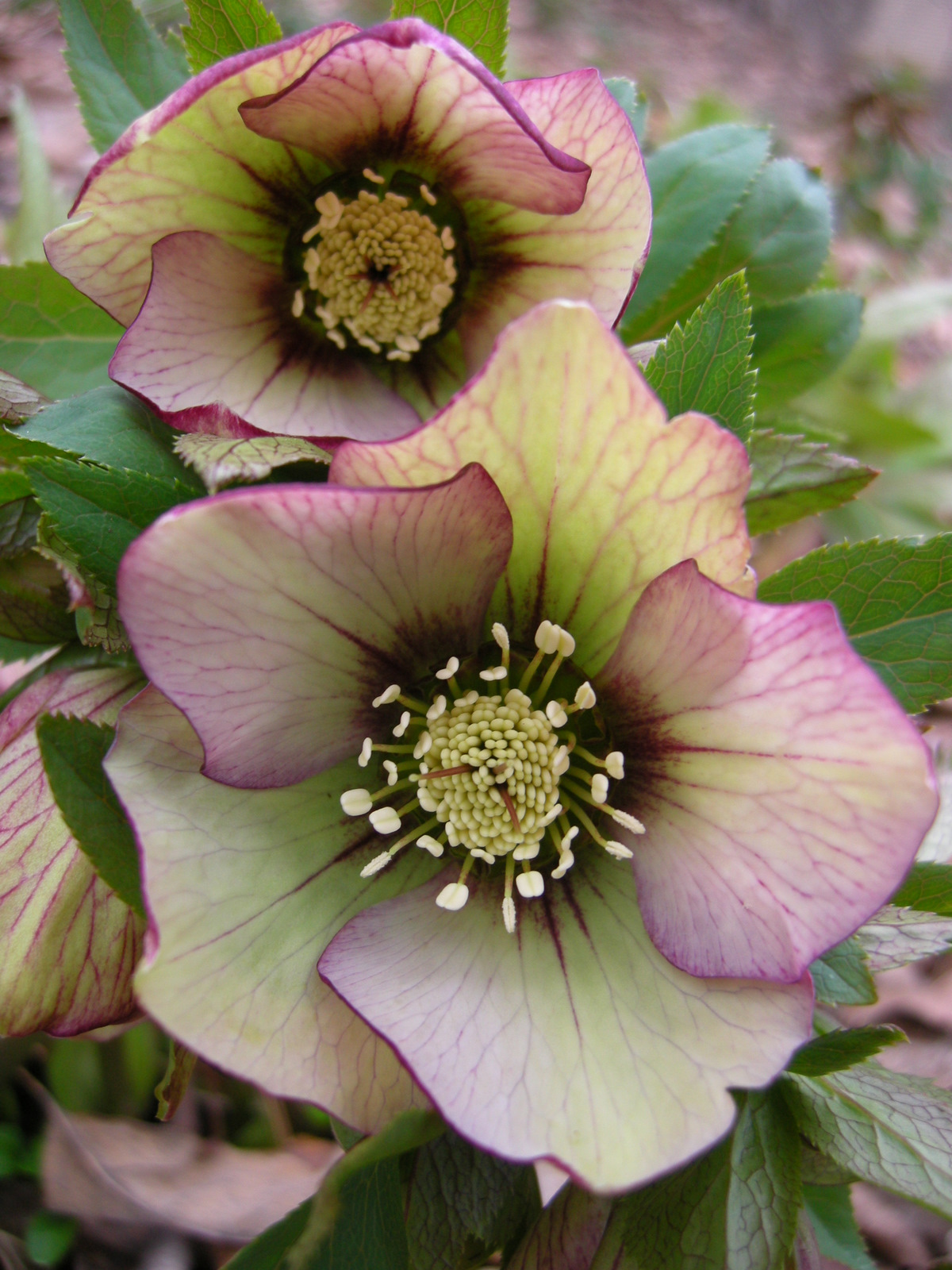 1000  images about hellebore  helleborus on pinterest
