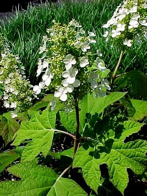 Woody Plants For Shade Part 1 Carolyn S Shade Gardens