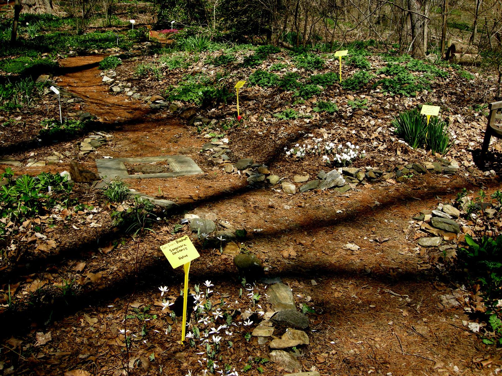 Aquilegia canadensis – Woodland Garden Plants