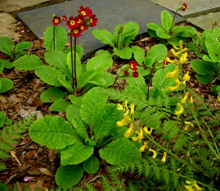 Primula x polyantha 'Old Brick Reds', Corydalis cheilanthifloia at Carolyn's Shade Gardens