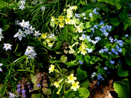 Ipheion uniflorum, Primula veris, Brunnera macrophylla at Carolyn's Shade Gardens