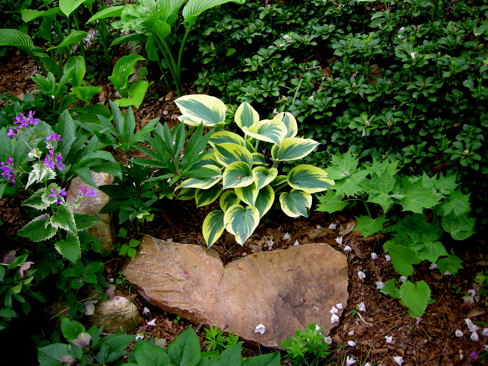 Miniature small hostas carolyn 39 s shade gardens Small rock garden