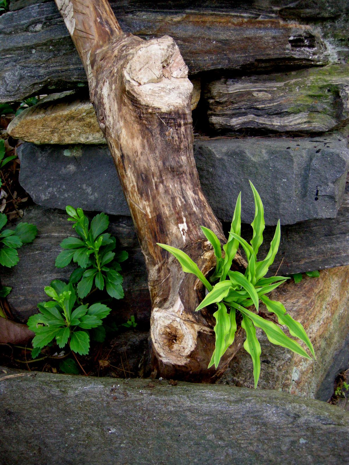 Hosta Garden Ideas Miniature small hostas carolyns shade gardens alakazaam workwithnaturefo