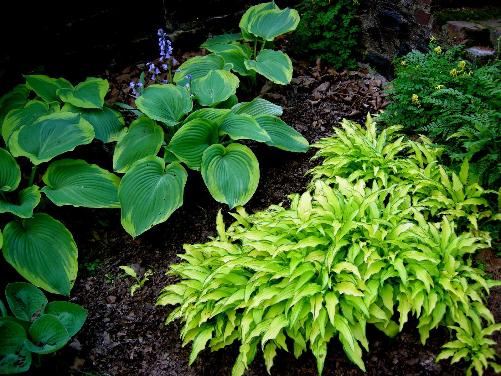 Miniature Small Hostas Carolyns Shade Gardens