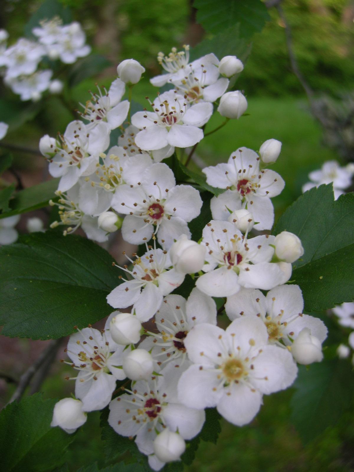 Magnolia Sieboldii Carolyn S Shade Gardens