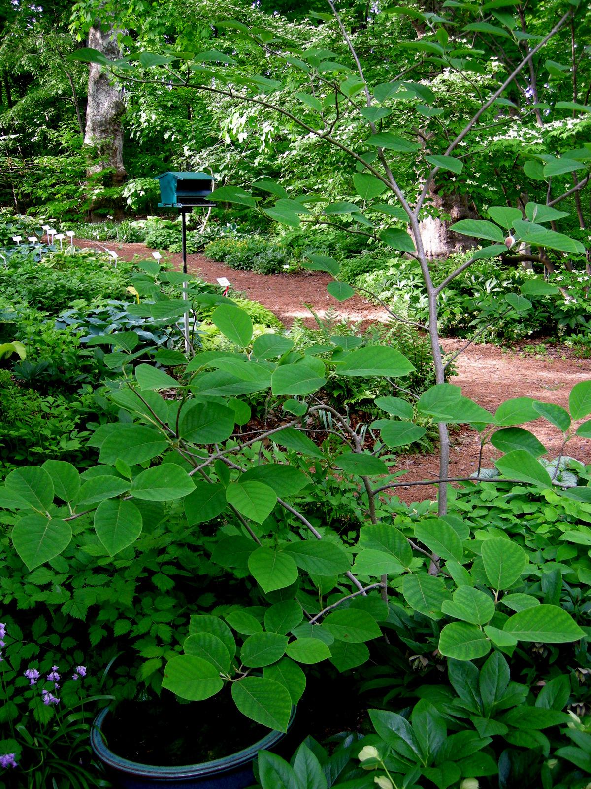 Magnolia Sieboldii Carolyns Shade Gardens