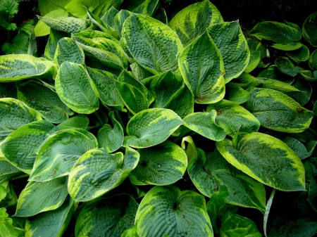 Hosta tokudama 'Flavocircinalis' at Carolyn's Shade Gardens