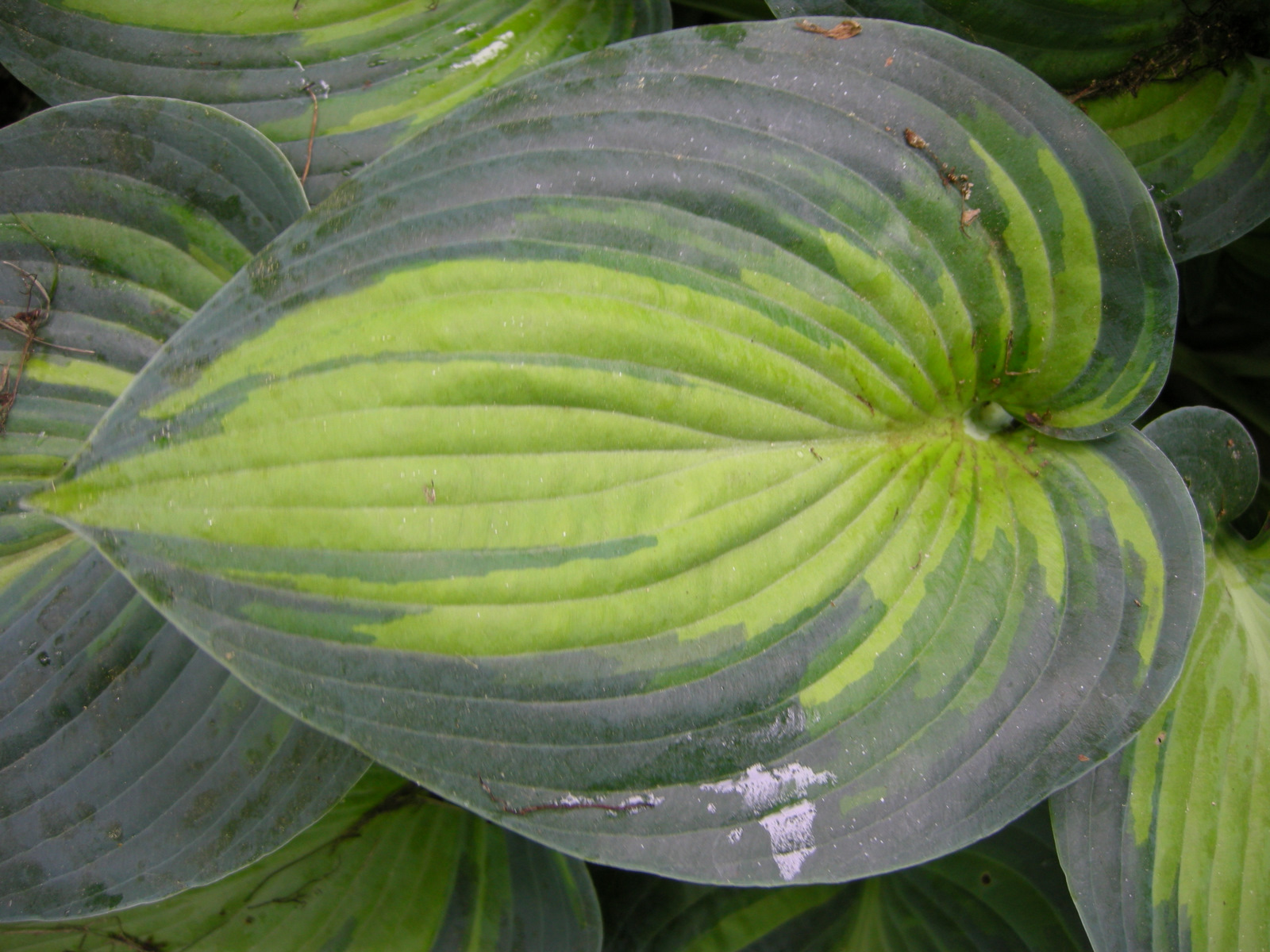 Hosta June Carolyns Shade Gardens